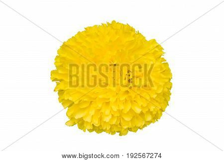 Beautiful and fresh yellow Mexican marigold bud flower (Tagetes erecta) isolated on white background with clipping path included for graphic design use top view angle