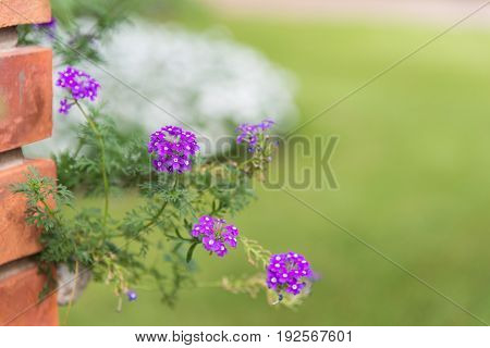 Background of little purple Prairie verbena (Glandularia species) small flowers & leaves with green yard white bush and orange brick wall with copy space for text design decoration selective focus