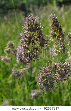 Flowering panicles of meadow grass with green foliage background in the early morning in the park