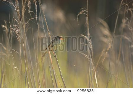 Reed warbler singing in reed bed at Seaton Wetlands