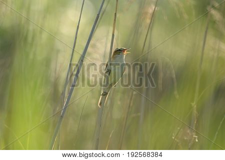 Reed warbler singing in reed bed at Seaton Wetlands