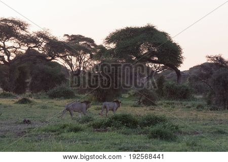 Two lions and two brothers go hunting. Amboseli, Kenya
