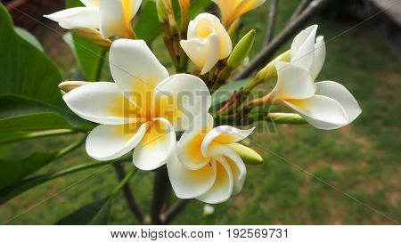 white and yellow Plumeria spp. (frangipani flowers Frangipani Pagoda tree or Temple tree) on tree in natural light background