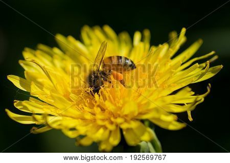 Closeup of honey bee on yellow dandelion flower collecting pollen and nectar.