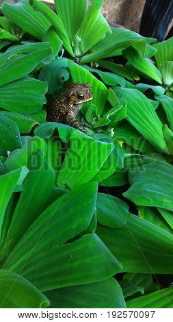 Frog hidden on water plant pond alone