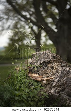 Bracket Or Shelf Fungus On Dead Tree In Forest With Shallow Depth Of Field In Image