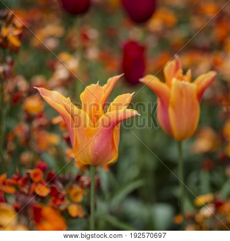 Stunning Vibrant Shallow Depth Of Field Landscape Image Of Flowerbed Full Of Tulips In Spring