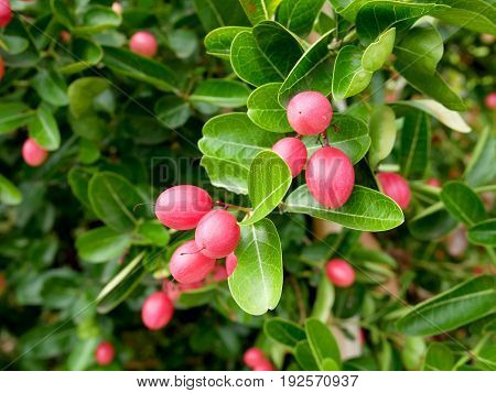 Bengal Currants (Carissa carandas) in the garden.High vitamin fruit.