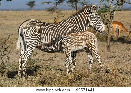 A female Grevy's zebra (Equus grevyi) nursing her foal. Ol Pejeta Conservancy Kenya.