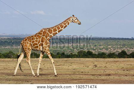 A reticulated giraffe (Giraffa camelopardalis) walking across a dry savanna. Ol Pejeta Conservancy Kenya.