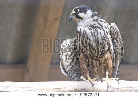 Common kestrel Falco tinnunculus is a bird of prey species belonging to the kestrel group of the falcon family Falconidae. Also known as the European kestrel, Eurasian kestrel.