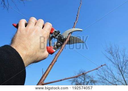 Gardener hand cut tree branch with bypass secateurs pruning in spring.