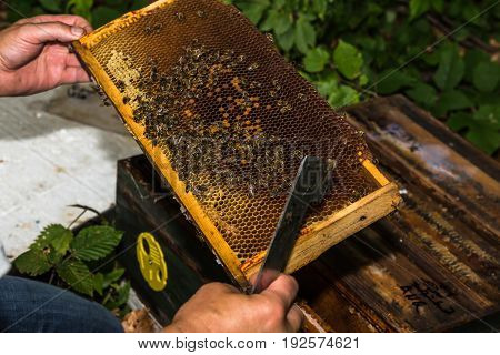 beekeeper with hive tool in the hand checks honeycomb with bees removed from the hive