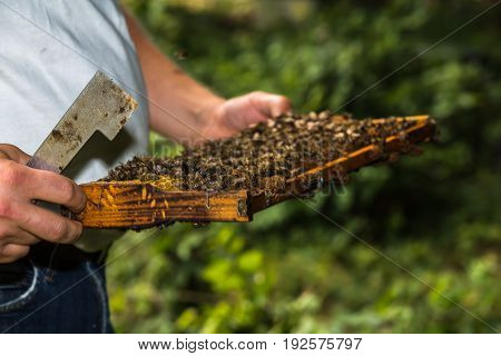 beekeeper with hive tool in the hand makes a hive inspection more precisely honeycomb removed from the hive