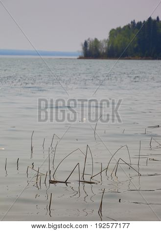 Shore of Dore Lake in Saskatchewan with a lot of reeds