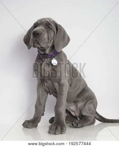 Purebred Great Dane puppy sitting patiently on a white background