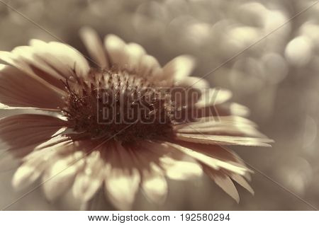 White-brown garden flower on a white-brown blurred background bokeh. Close-up. Floral background. Soft focus.Bbloom in the sun. Floral background. Nature.