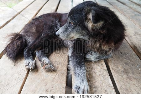 Mangy dog laying on wooden table poor dog black dog