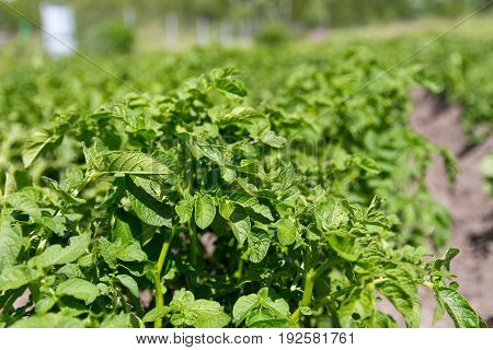 Green Bush Of Potatoes On The Background Of A Potato Field