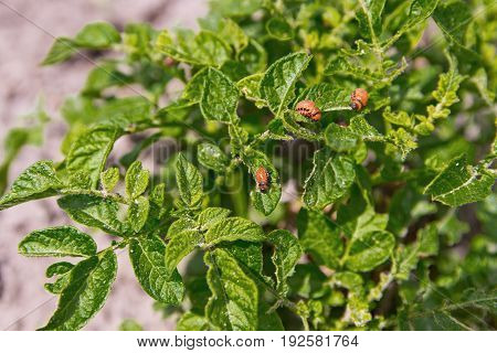 Feeding Larvae Of The Colorado Potato Beetle On Potato Leaf