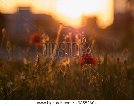 red poppys in the city at sundown / sunset blurred background