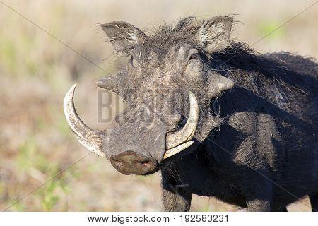 Single old Warthog with some huge teeth portrait