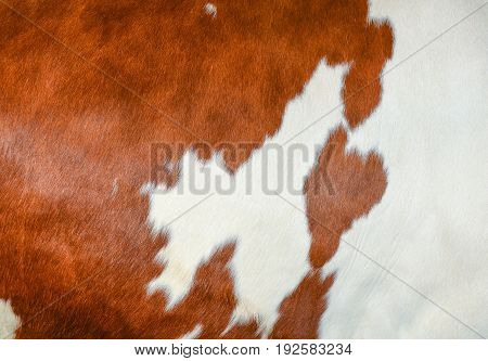 Texture of a brown spotted cow coat. White and red  hair cow skin - real genuine natural fur, free space for text.  Cowhide close up. Brown and white fur texture - abstract background