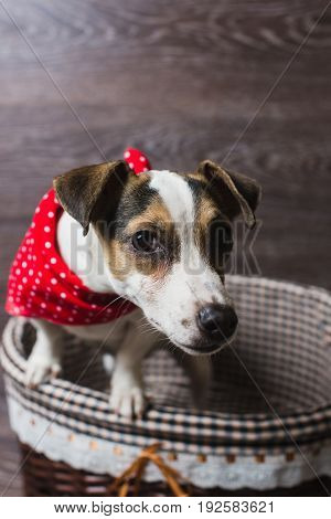 Jack Russell Terrier in brown basket. Dog in a trendy red bandana. Dark wooden background.