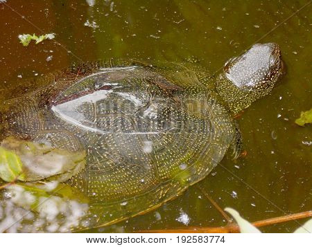 Emys Orbicularis. European Pond Turtle. European Pond Terrapin. Turtle Floating In The Water