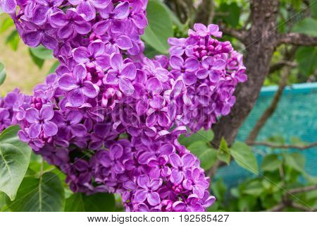 Closeup of a blossoming lilac. Spring season.