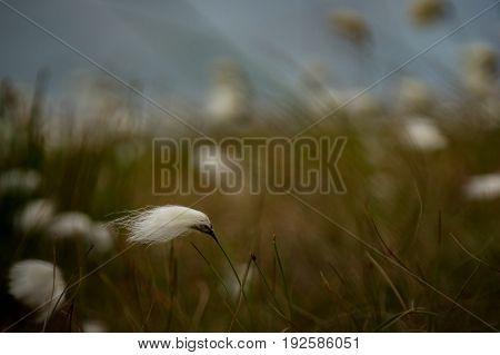 Bog cotton on Achill island Co. Mayo.
