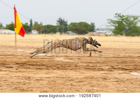 Spanish greyhound running fast during a race