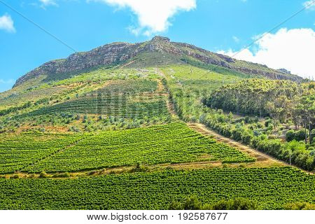 Spectacular wine-growing on the slopes of a hill. Groot Constantia, Cape Town, South Africa. The Constantia Wine Valley is the most spectacular wine experience in the world.