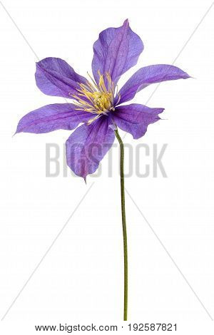 Macro of clematis flower isolated on white background
