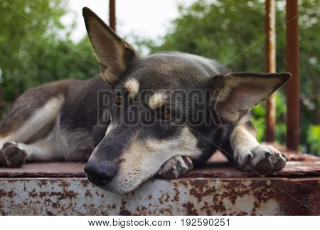 The dog lies on an iron sheet against the background of the sky and trees