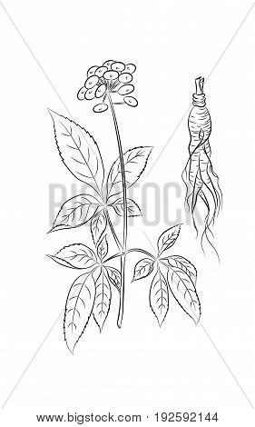 Root and ginseng stalk with leaves berries  in contour style