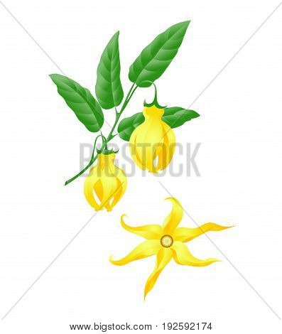 Branch with leaves and fruits of the tree of yaling ylang. Illustration of the natural product, health, cosmetics, relaxation.