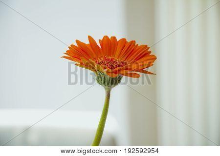 Orange gerbera flower with green stem on white background.