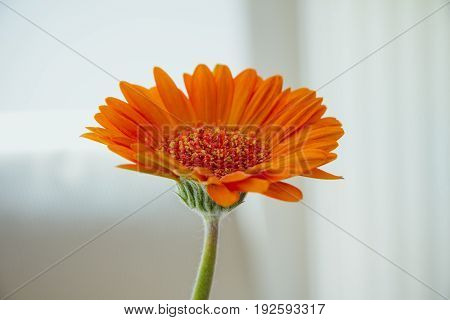 Orange gerbera flower with green stem on white background.