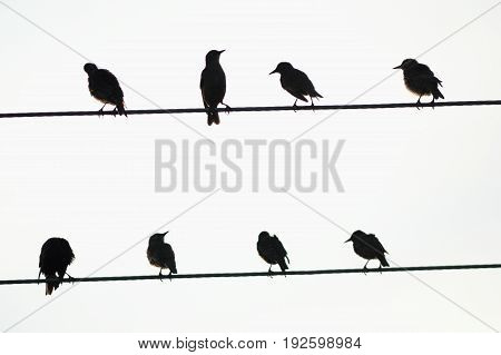 Silhouettes of starlings perched on the wire