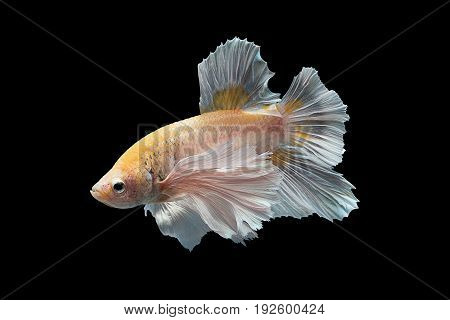 Capture the moving moment of yellow white siamese fighting fish isolated on black background. Dumbo betta fish