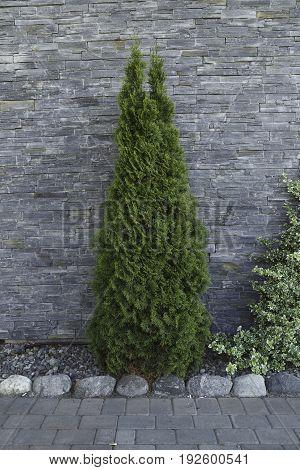 Decoration tree Cypress and grew brick wall.