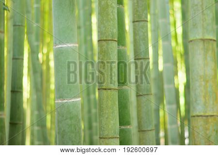 Lush green Japanese Bamboo forests background in horizontal frame