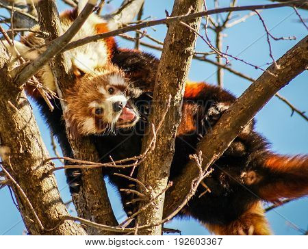 Portrait Of  Red Panda, Also Called Lesser Panda