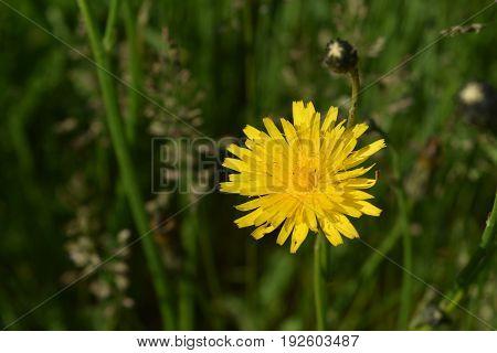 Flowering yellow dandelion in full bloom in grass.
