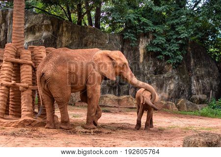 Africa Elephant Coating Her Baby with Sand for Prevent the Insect