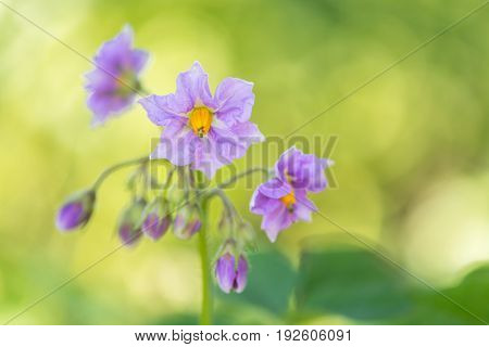 The potato flowers are purple. Flowering potatoes on a beautiful background.