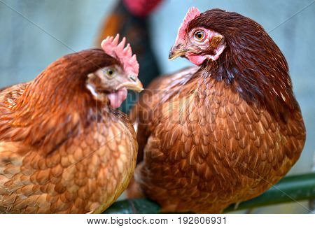 Hen Young Hybrid Chicken In Livestock Farm