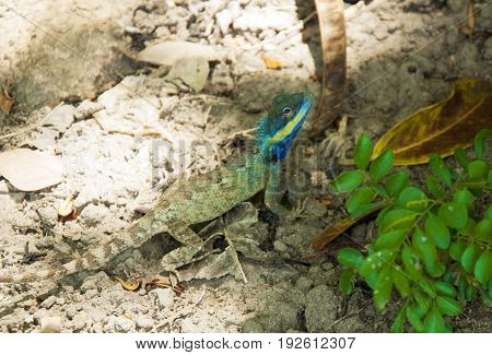 The sand lizard Lacerta viridis siting .