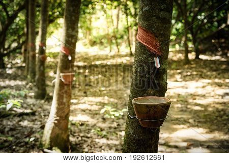 Harvested raw latex from rubber tree in rubber platation